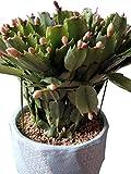 Garich Garden Plant Support Ring Mini Treils for