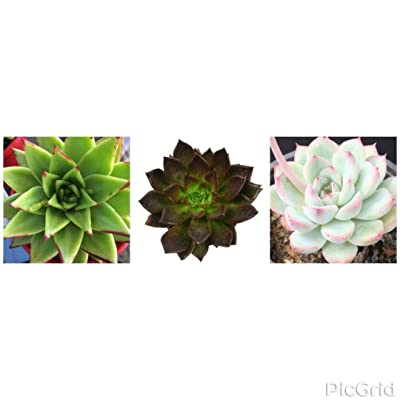 Assorted Desert Rose Echeveria Succulent Plant (3-Pack) : Garden & Outdoor
