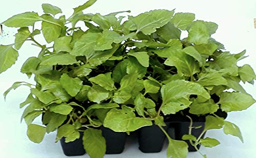 Toothache Plant - Szechuan Flower Plant (Buzz Buttons) Grow Kit: Your kit Will Include Both Lemon Drop and Bulls Eye Seeds 50/50- Open/Water/Watch.