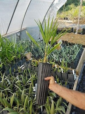 (1G Windmill Palm Trachycarpus Fortunei var. Nova NVERY Cold Hardy)