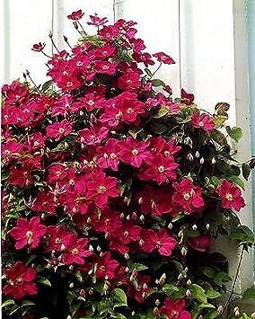 Plant in 9cm Pot Clematis Ville de Lyon