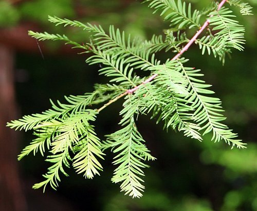 Bald Cypress - Taxodium Distichum - Bonsai or Outdoor - Quart Pot (Bald Bonsai Cypress)