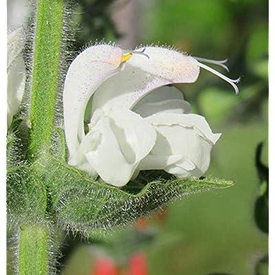 Salvia Argentea 25 Seeds : Garden & Outdoor