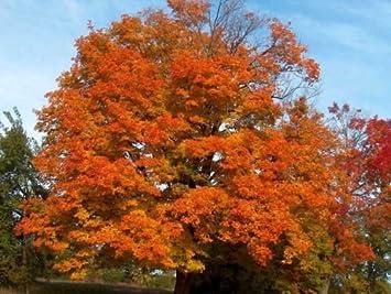 Amazoncom 100 Sugar Maple Tree Seeds Acer Saccharum Make Maple