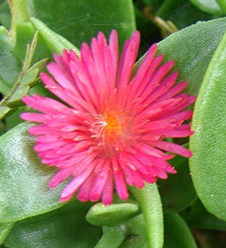 Cordifole Aptenia cordifolia 50 Samen Herzblattsalat