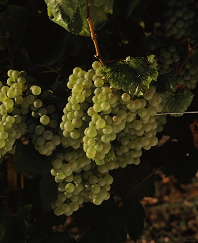 Carneros Chardonnay - Chardonnay grapes in vineyard Carneros Region California USA Poster Print (22 x 27)
