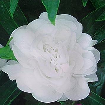 Amazon Adb Inc Impatiens Balsamina White Garden Balsam