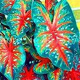 100pcs Thailand Caladium Bicolor Seed Balcony Rare