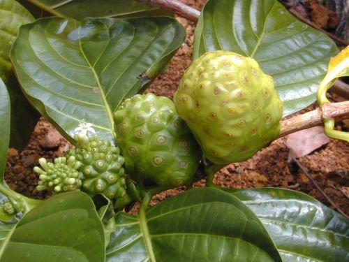 - Rare seeds » Strong back medicinal herb or MORINDA ROYOC -aphrodisiac - 5 seeds
