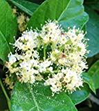 Viburnum Odoratissimum Sweet Viburnum Potted Plant, Beautiful Flowering Perennial Plant