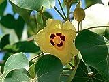 PORTIA TREE (Thespesia populnea) 10 seeds