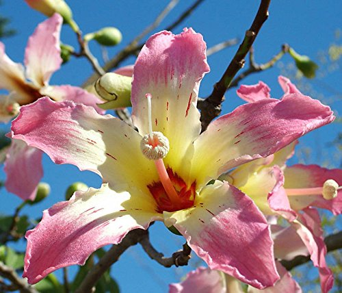 Chorisia speciosa exotic flowering tree silk floss bottle kapok seed 10 ()