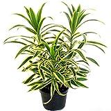 "AMERICAN PLANT EXCHANGE Song of India Dracena Reflexa Live Plant, 6"" Pot, Indoor/Outdoor Air Purifier"