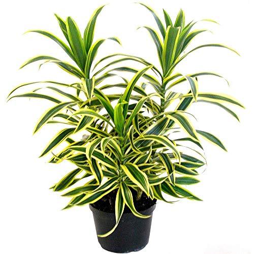 AMERICAN PLANT EXCHANGE Song of India Dracena Reflexa Live Plant, 6 Pot, Indoor/Outdoor Air Purifier