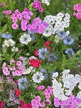 20 Seeds Mini Tequila Sunrise Dandelion Seed Fairy Garden sun flower Plant Seeds