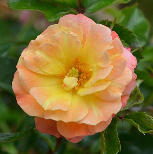 Coral Drift Rose - Disease Resistant - 4