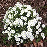 Outsidepride Arenaria Montana Flower Seed - 1000 Seeds