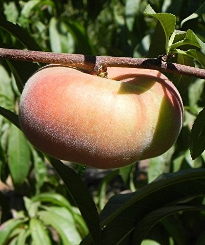 Pink Halo Freestone Peach Tree Shipped in Soil, Five Gallon Container