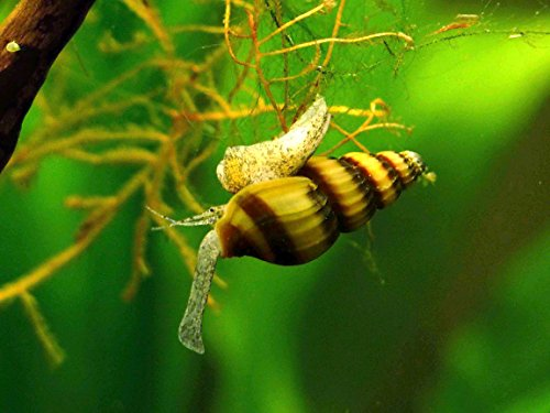 3 Live Assassin Snails (Clea helena - 1/2 to 1 Inch) - Removes All Pest Snails! by Aquatic Arts (Fish Formerly Pond)