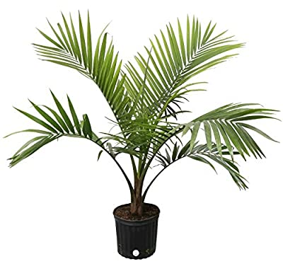 Costa Farms Parlor Palm, Neanthe Bella, Live Indoor