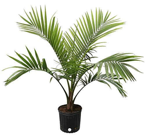Costa Farms Majesty Palm Tree, Live Indoor Plant, 3 to 4-Feet Tall, Ships in Grow Pot, Fresh From Our Farm, Excellent -