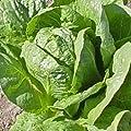 Everwilde Farms - Organic Parris Island Cos Romaine Lettuce Seeds - Gold Vault