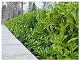 5 Cherry Laurel Fast Growing Evergreen Hedging Plants 25-30cm in Pots 3fatpigs