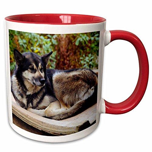 3dRose Danita Delimont - Dogs - Alaskan Husky dog, Denali Park, Alaska, USA - US02 MHE0007 - Michel Hersen - 15oz Two-Tone Red Mug -