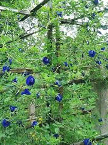 Blue pea flower Butterfly pea Flower 1000 seeds, 30 pcs thread by Is yourself (Image #2)