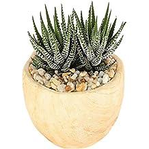 Costa Farms Live Haworthia Succulent Plant in Wood Design Ceramic Pot
