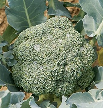 David's Garden Seeds Broccoli Imperial D3041 (Green) 100 Hybrid Seeds