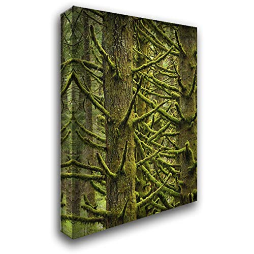 - OR, Silver Falls Moss-Draped Douglas fir Trees 28x40 Gallery Wrapped Stretched Canvas Art by Terrill, Steve