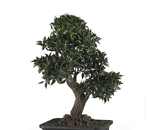 SKB Family Japanese Ficus Bonsai 24'' Silk Plant proportioned artificial combine by SKB family