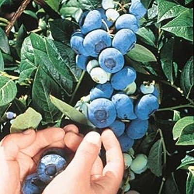 100 Chandler Blueberry Seeds
