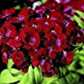 30+ Crimson Red Dianthus / Perennial Flower Seeds