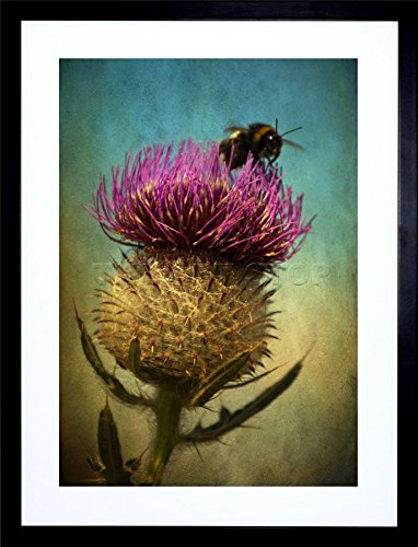 PHOTO BUMBLE BEE THISTLE FLOWER SCOTLAND FRAMED ART PRINT