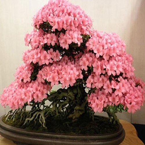 arden Oriental Cherry Blossoms Tree Plants Seeds Flower Seed ()