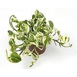 Scindapsus Njoy Plant in a 12cm Pot. Devils Ivy. Epipremnum