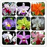Brand New! 30 Orchids Seeds Cattleya Hybrida Flower, Famous Flowers Orchids seeds of hope