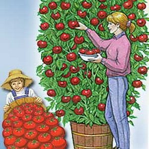 german giant tomato seeds - 4