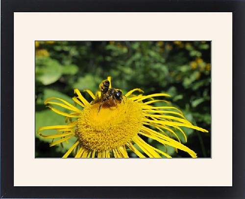 Framed Print of Leafcutter bee (Megachile sp.) feeding from flowerhead of heartleaf oxeye