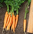 David's Garden Seeds Carrot Adelaide D3117UY (Orange) 1000 Hybrid Seeds