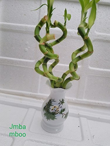 (Jmbamboo - Live Spiral 5 Style Lucky Bamboo Plant Arrangement with Vase Diamond Ceramic Vase)