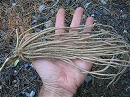 Jersey Knight Asparagus Plants Crowns Roots Bare Root Garden 25 Ea All Male by Grower's Solution by Grower's Solution (Image #2)