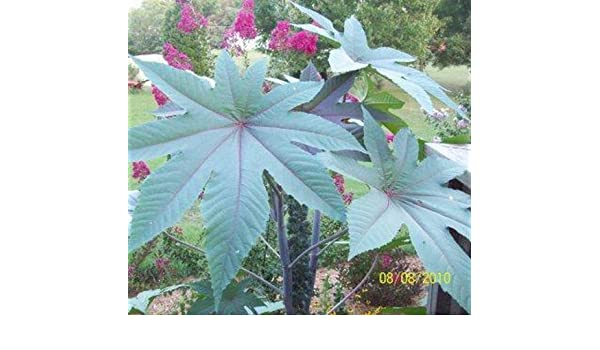 Castor Bean-15 Semillas: Amazon.es: Jardín