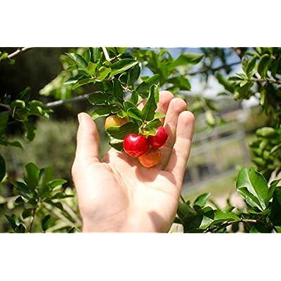 AchmadAnam - Live Plant - Organic Barbados Cherry Acerola Plant - 3 gal. Pot - Established - Naturally Grown - Non-GMO (No Fertilizer). E7 : Garden & Outdoor