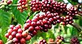 Azalea gardens Indoor Dwarf 25 PCS Coffee seeds very high production chandragiri coffee seeds