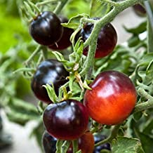 Black Cherry Tomato Seeds (Lycopersicon esculentum) 20+ Rare Seeds + FREE Bonus 6 Variety Seed Pack - a $29.95 Value Packed in FROZEN SEED CAPSULES for Growing Seeds Now or Saving Seeds for Years