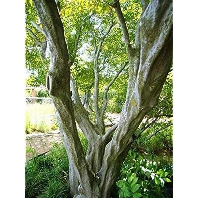 Cheap Fresh Tree Seeds Carpinus Carolinana American Hornbeam Get 5 Seeds Easy Grow #GRG01YN : Garden & Outdoor
