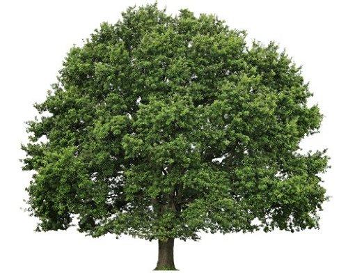 Wandtattoo No.393 Sommerlinde Baum Sommer Sommer Sommer Linde Pflanze Natur B00V0IQ6YK Wandtattoos & Wandbilder 13e1df